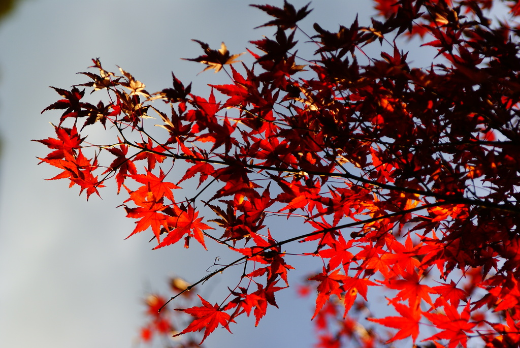 小石川後楽園の紅葉8