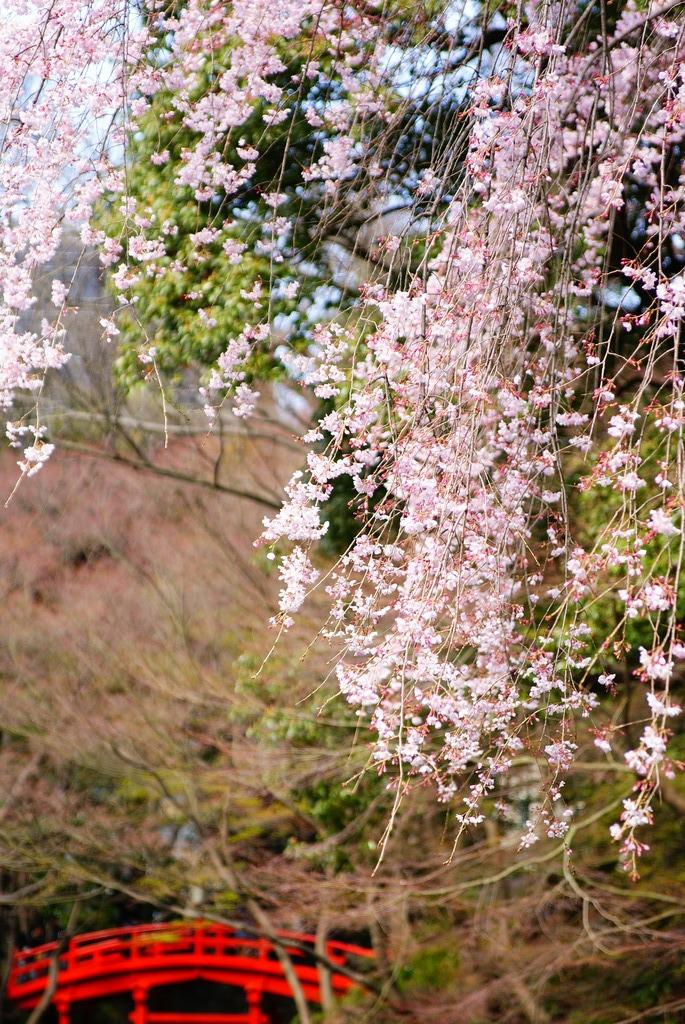 橋と緑と桜