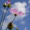 青い空と、白い雲と、コスモスと