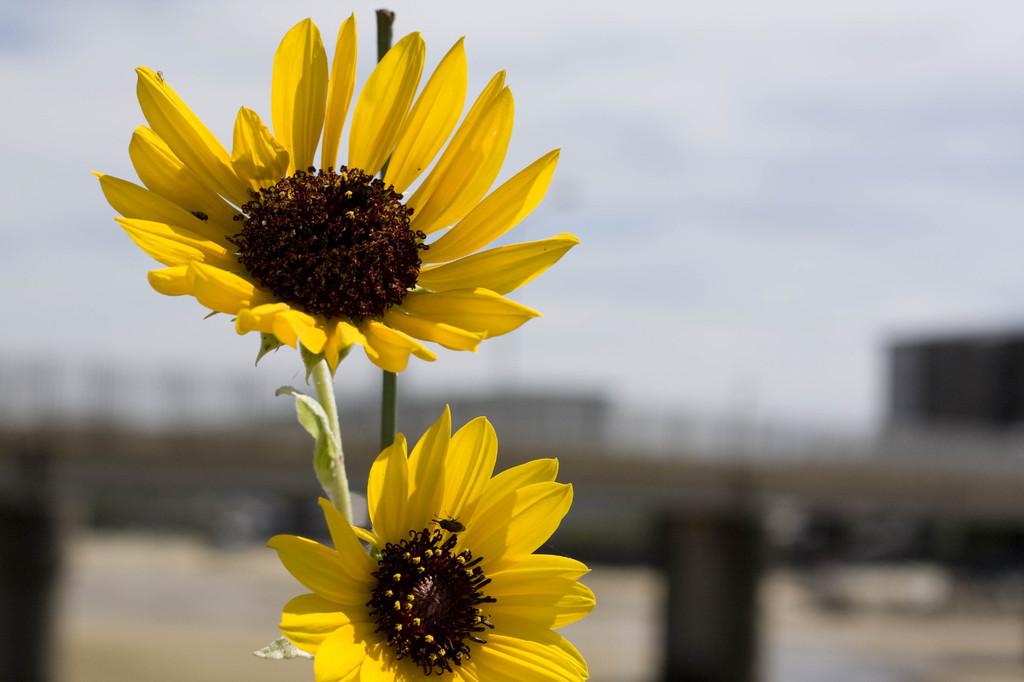 黄色い花 (1 - 1)
