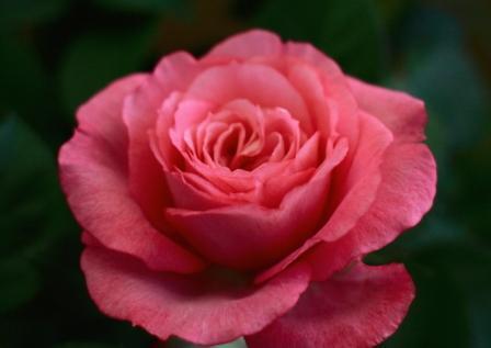 水俣エコパークの薔薇
