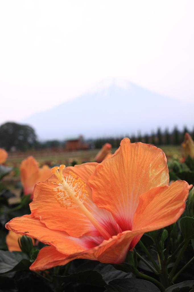 富士山よりでかい花