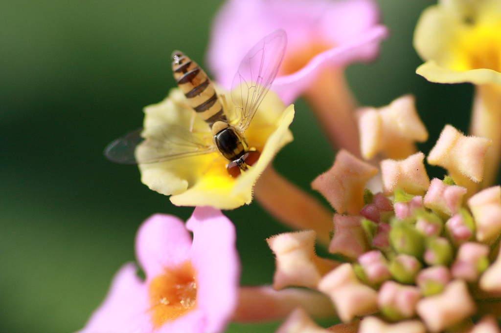 この蜂小さいんですよー