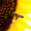 ひまわりと蜜蜂君♪