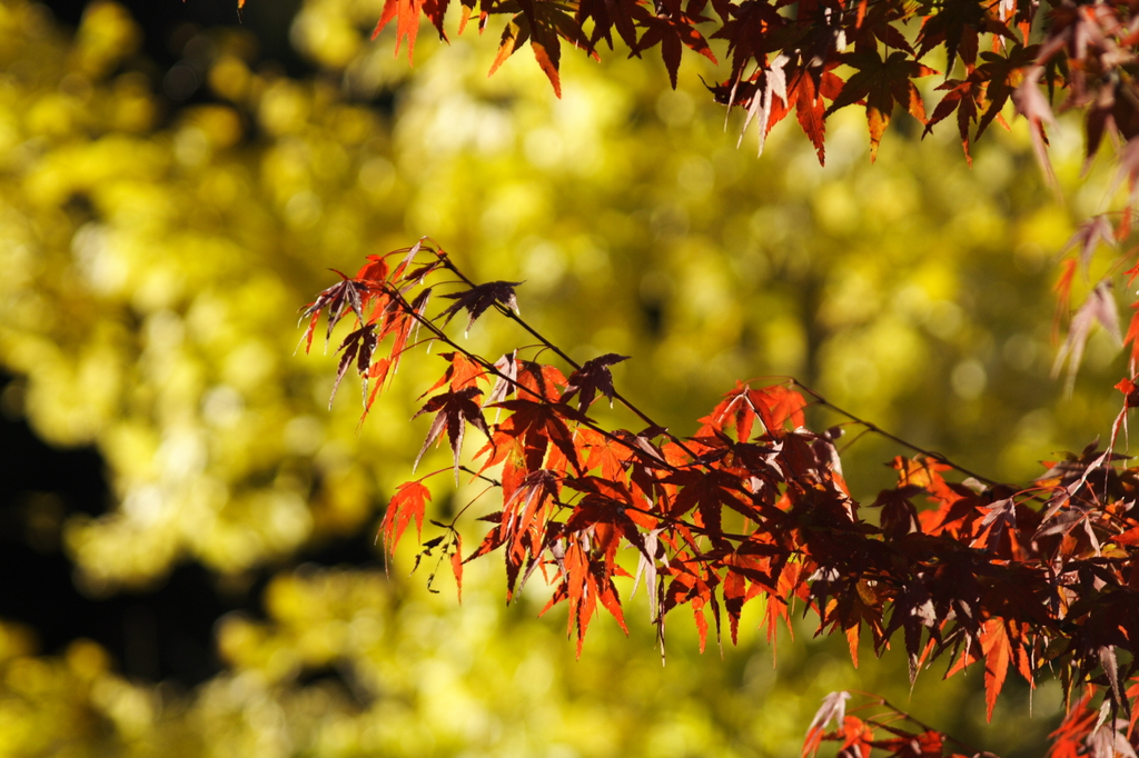 紅葉と銀杏
