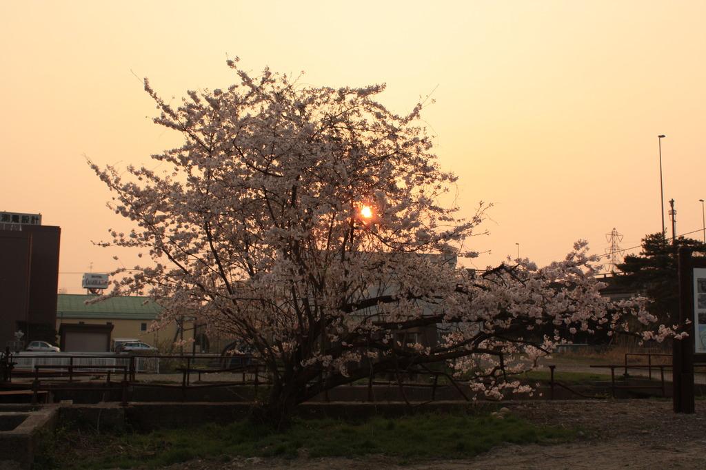 桜(その3)