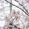 川辺の桜(その3)