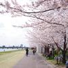 川辺の桜(その1)
