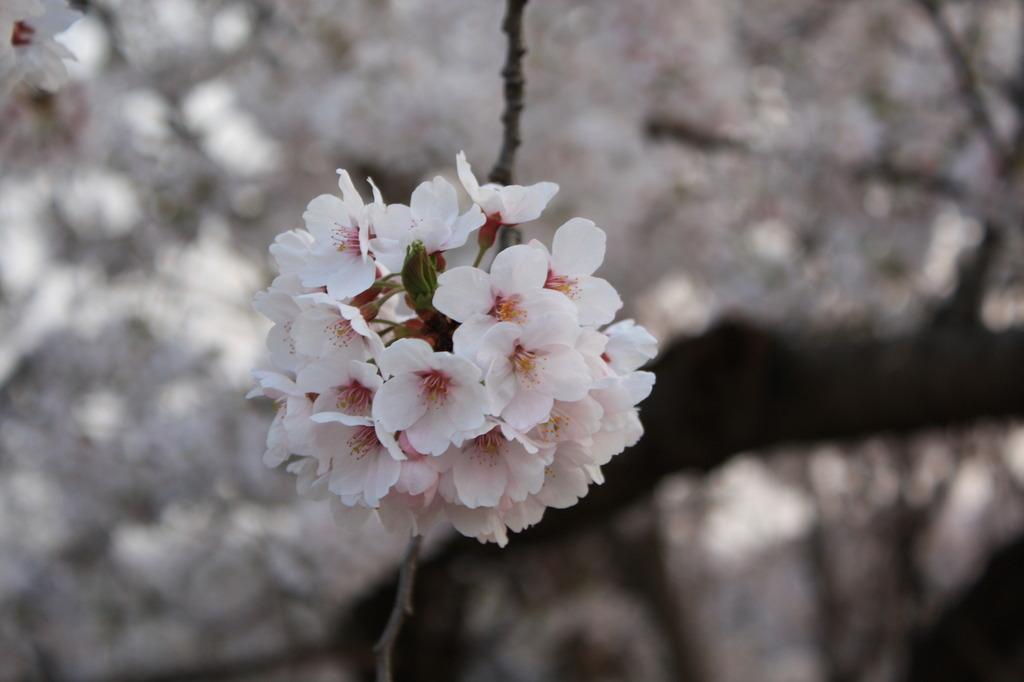 桜(その2)