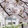 川辺の桜(その4)