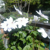 FUJIFILM FinePix A345で撮影した植物(クレマチス)の写真(画像)