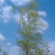 FUJIFILM FinePix A345で撮影した風景(青空と木と爽やかな風)の写真(画像)