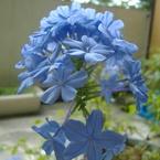 FUJIFILM FinePix A345で撮影した植物(るりまつり①)の写真(画像)