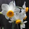 SHARP 824SHで撮影した植物(すいせんの花)の写真(画像)