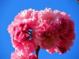 八重桜のブーケ