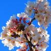 青空to桜