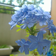 FUJIFILM FinePix A345で撮影した植物(るりまつり②)の写真(画像)