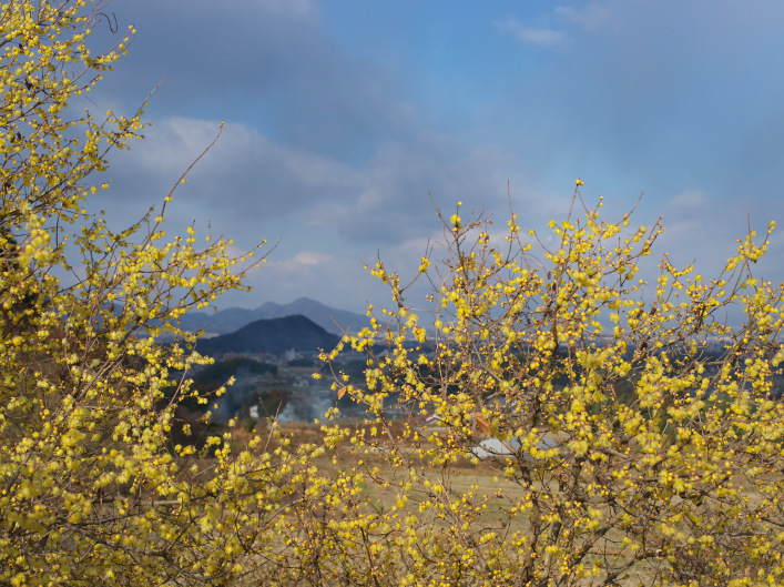 八釣(明日香)の蝋梅