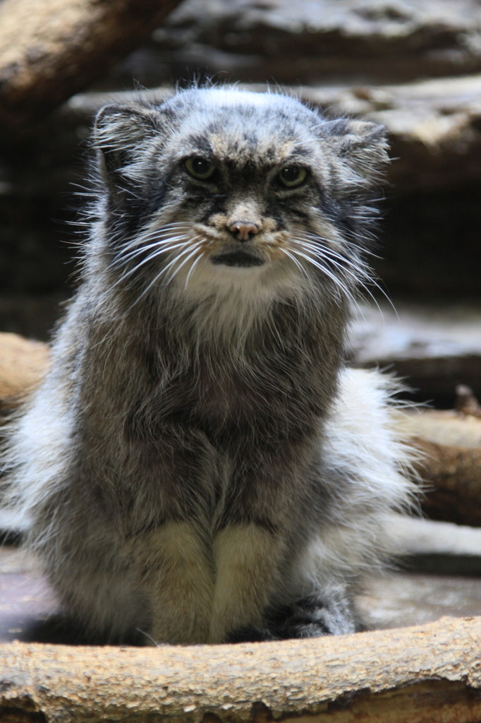 僕はマヌル猫、よろちくニャ~