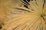 The Chrysanthemum.