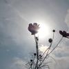 コスモスと太陽