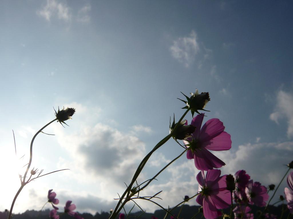 風にそよぐ・・・秋桜