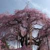 慈雲寺の桜_7