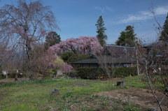 慈雲寺の桜_9