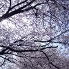 甚六桜_8