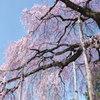 慈雲寺の桜_3