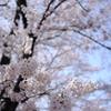 甚六桜_7