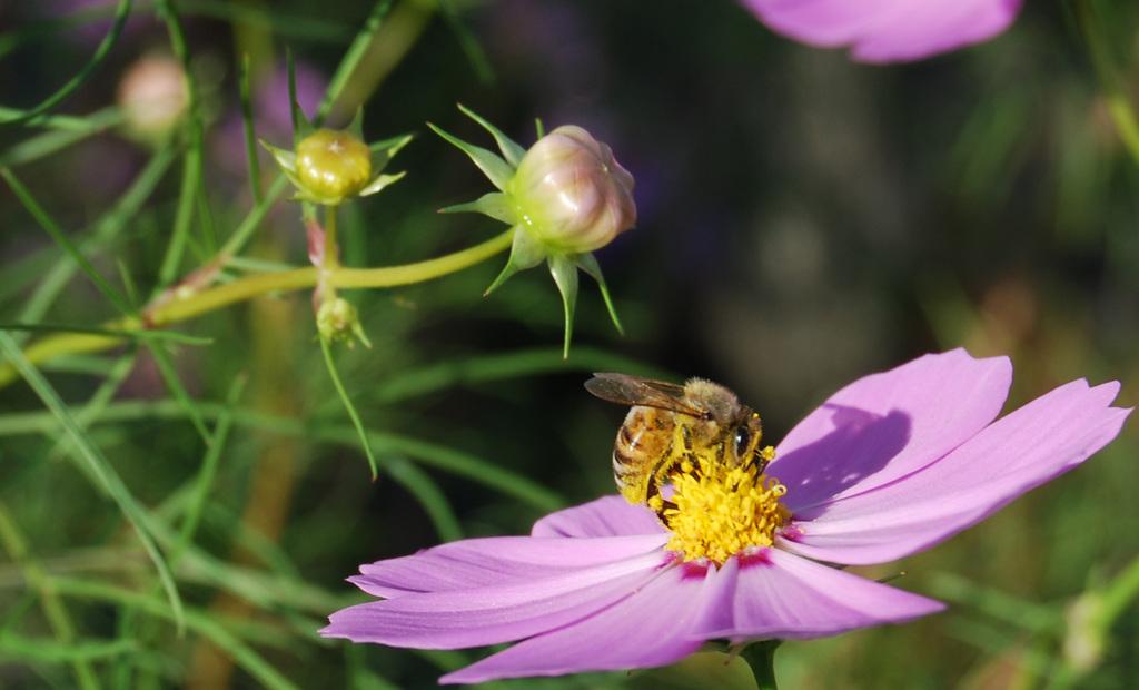 コスモスに蜂