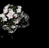 2010 闇夜の桜