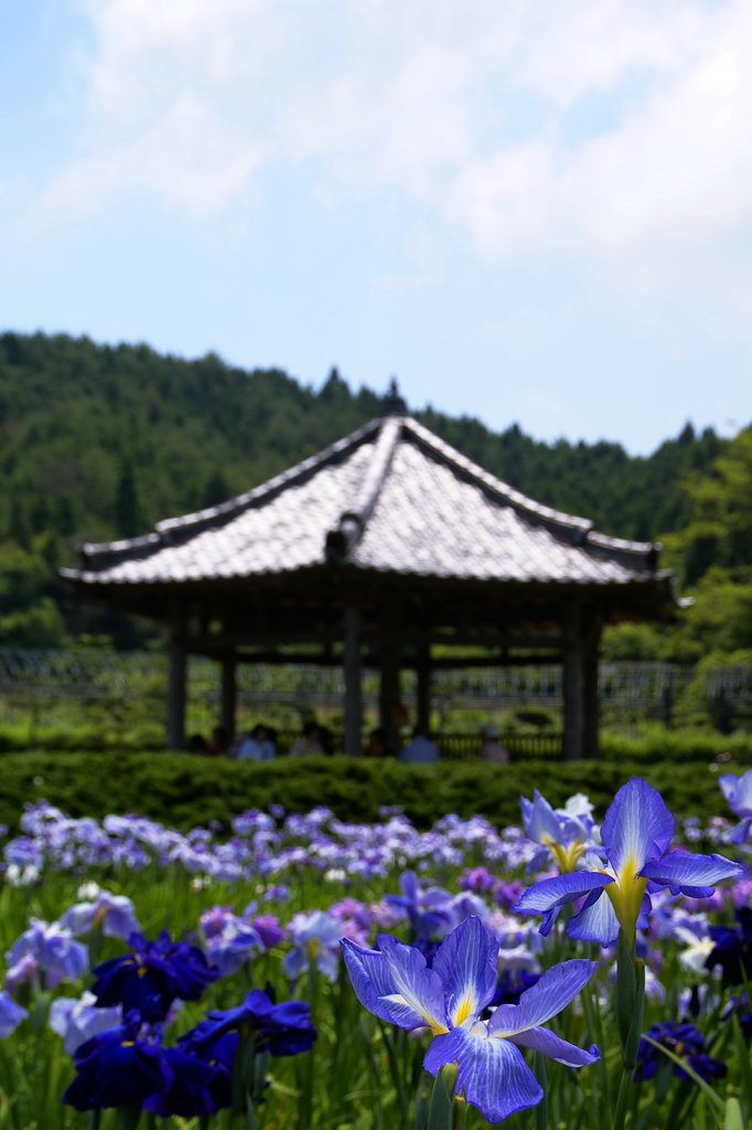 花しょうぶ園 -3-
