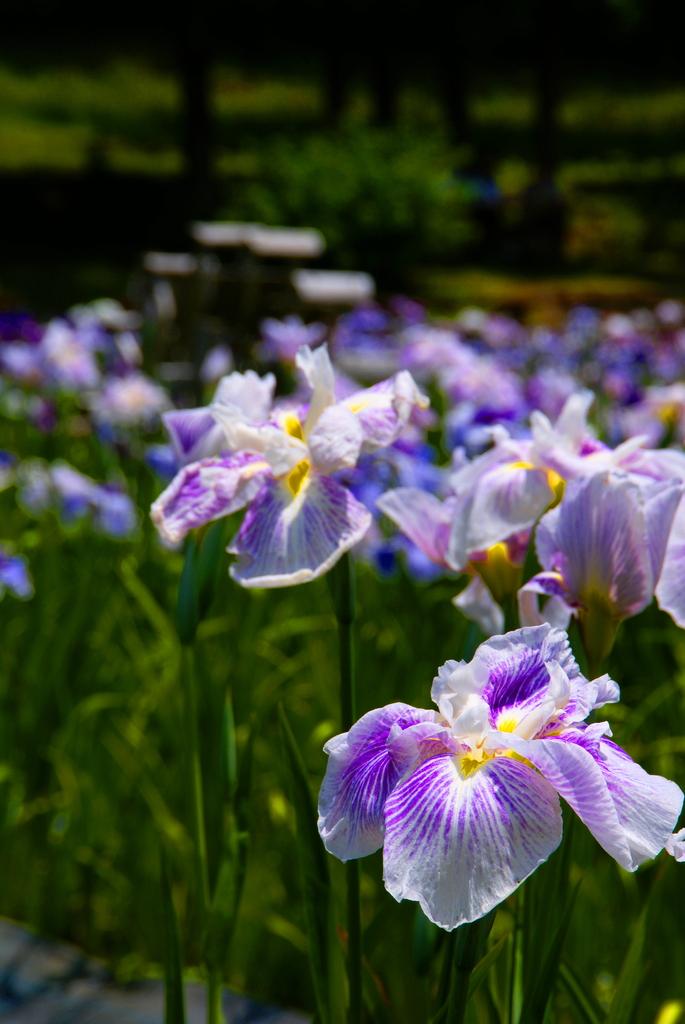 花しょうぶ園 -2-