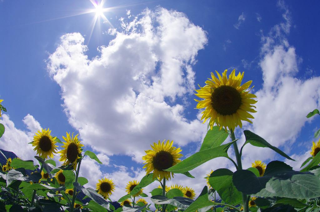 Sun & Sunflower