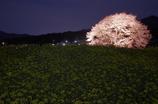 黒部のエドヒガン桜