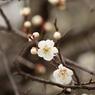 CANON Canon EOS Kiss X2で撮影した植物(梅は咲いたか)の写真(画像)