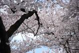 小金井桜 #3
