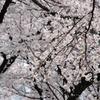 小金井桜 #2