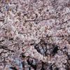 桜満開 #3