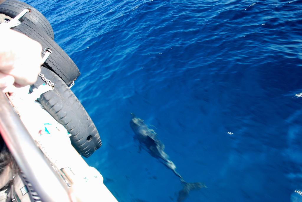 八丈島の海豚(イルカ) #2