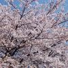 桜満開 #1