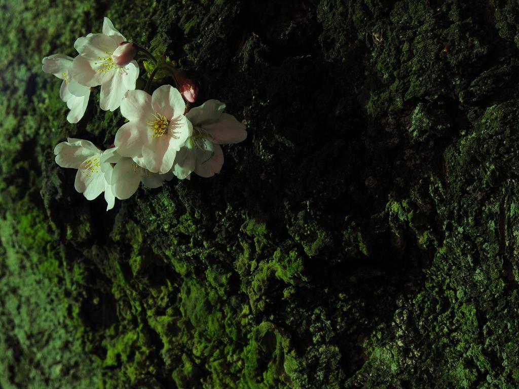 けなげな桜