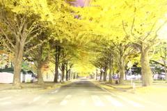 北大銀杏並木
