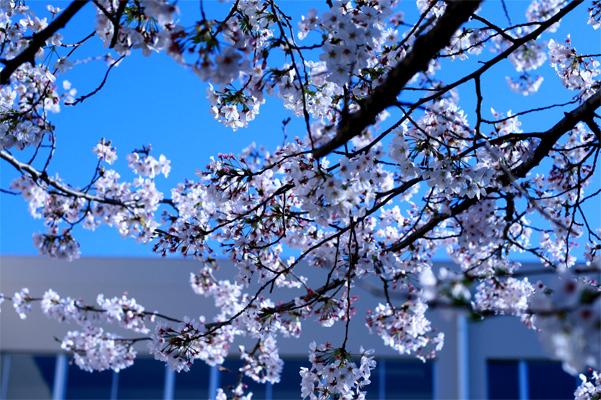 cherry blossom take2