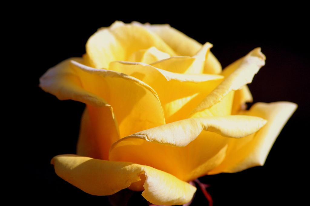 Ein Gelb stieg