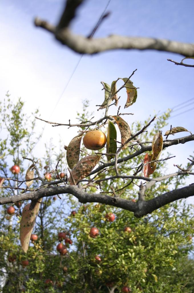 柿ときどきザクロ