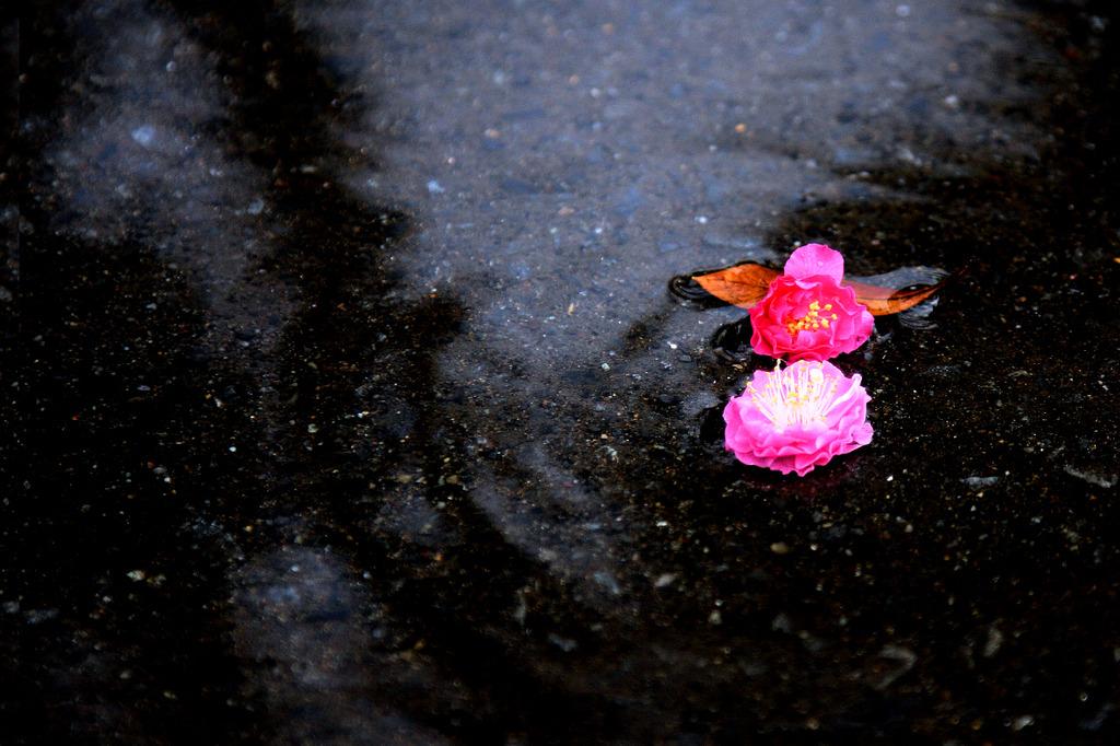 風雨に落花