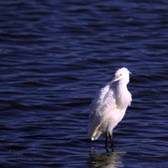 黄昏時の白鷺